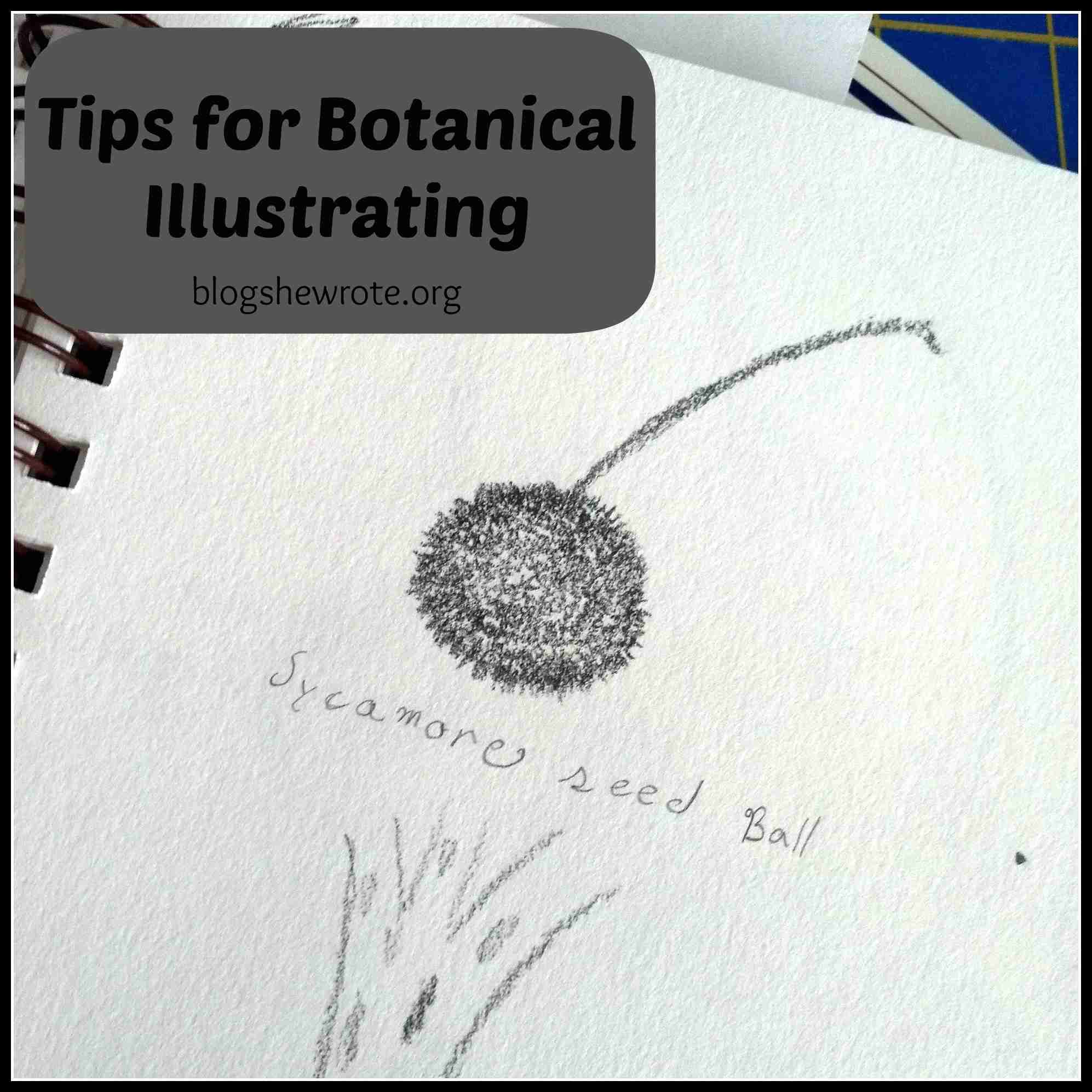 Tips for Botanical Illustration Plant Drawing